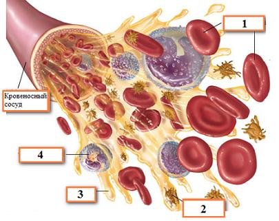 схема форменных элементов крови